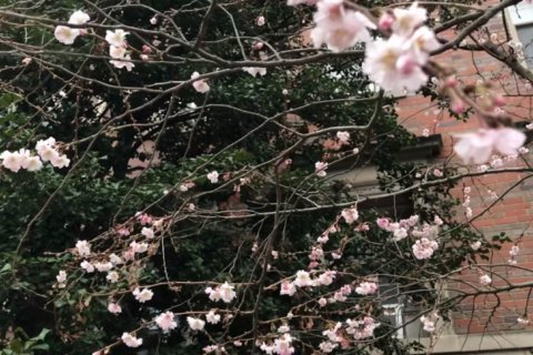 Wacky winter weather spawns January blossoms
