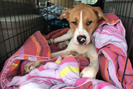 The Humane Rescue Alliance said it received a call Jan. 4 about an abandoned dog at Skip's Liquor and Laundromat in Northeast. (Courtesy Humane Rescue Alliance)