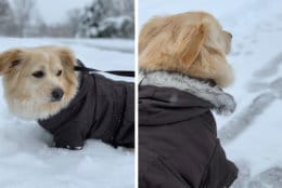 This dog shows off a wonderful coat in Ashburn, Virginia. (Courtesy Mehdi Farzad)