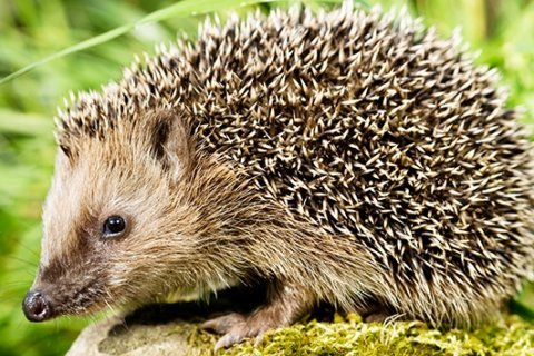 Salmonella outbreak in several states linked to pet hedgehogs
