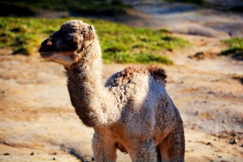 Va. zoo welcomes baby camel