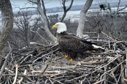 Beak-ing news: DC bald eagle Justice returns to nest