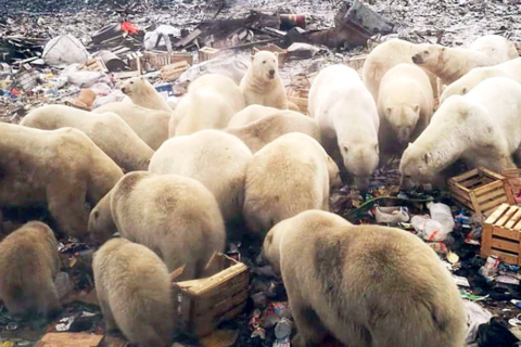 WATCH: Parents scared to send children to Russian school after polar bear invasion