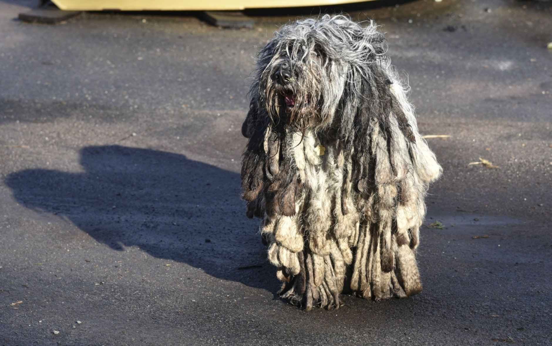 In this Friday, Feb. 8, 2019, photo, a Bergamasco Shepherd plays on the Tuttle Road farm where they were born in Durham, Conn. Two of the sheepdogs competed in the 2019 Westminster American Kennel Club Dog Show. (Bailey Wright/Record-Journal via AP)