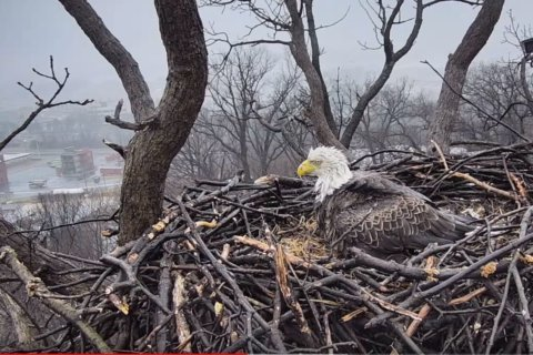Scandal in the nest: DC bald eagles lay first egg of 2019