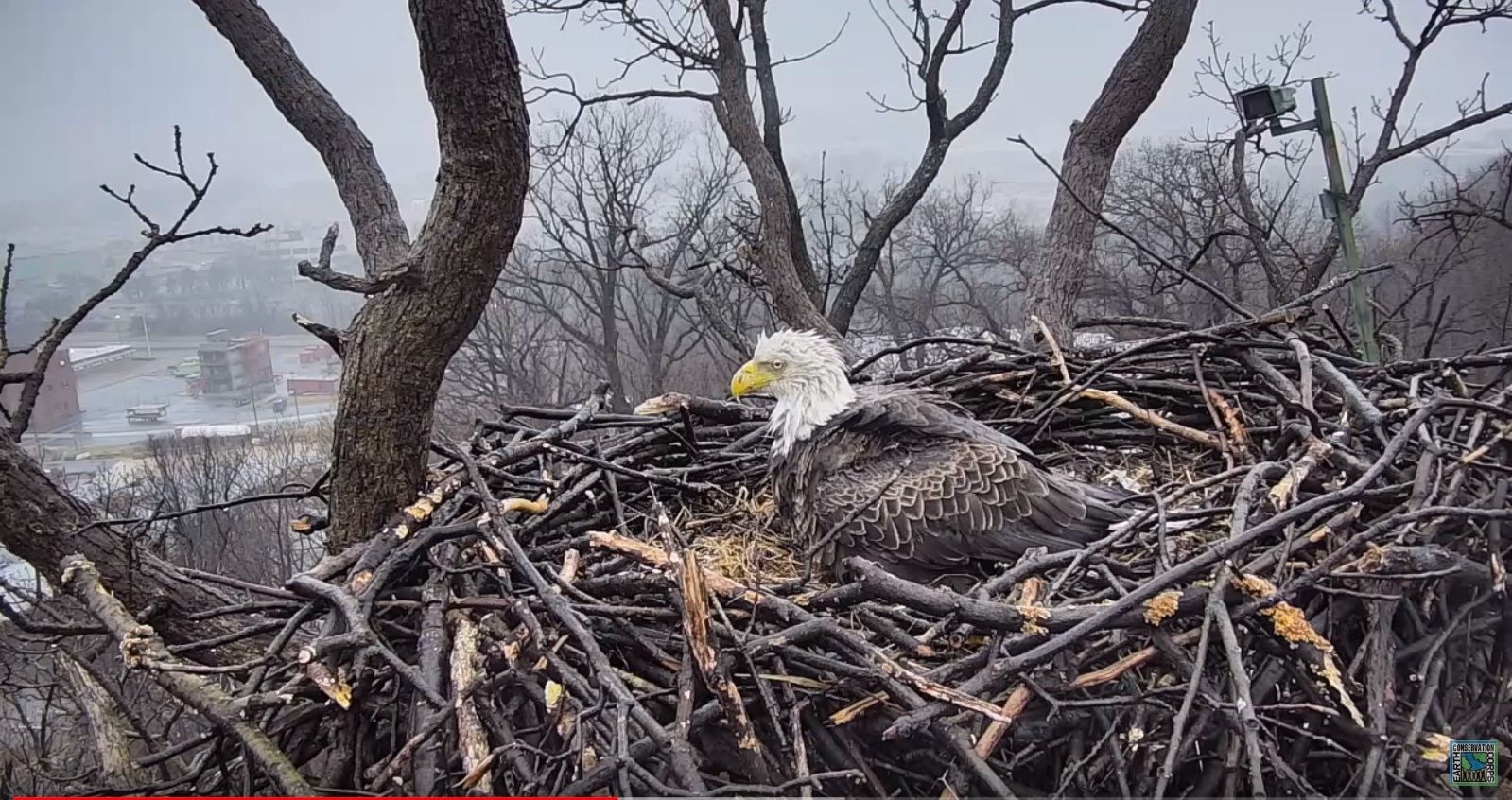 High drama, high in a tree for a DC bald eagle couple