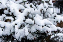 Snow accumulates on a plant in D.C.'s Kalorama neighborhood. (WTOP/Alejandro Alvarez)