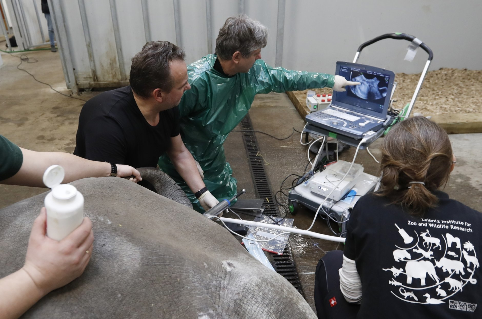 Team of experts led by Thomas Hildebrandt, center, of the Leibniz Institute for Zoo and Wildlife Research in Berlin, harvests eggs from female southern white rhino, 17-year-old Hope, at a zoo park in Chorzow, Poland, Wednesday, Feb. 13, 2019. (AP Photo/Petr David Josek)