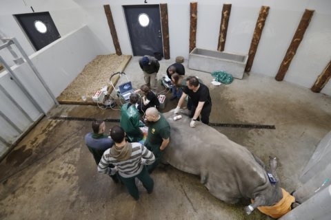 AP PHOTOS: Scientists fine-tune method to save rhinos