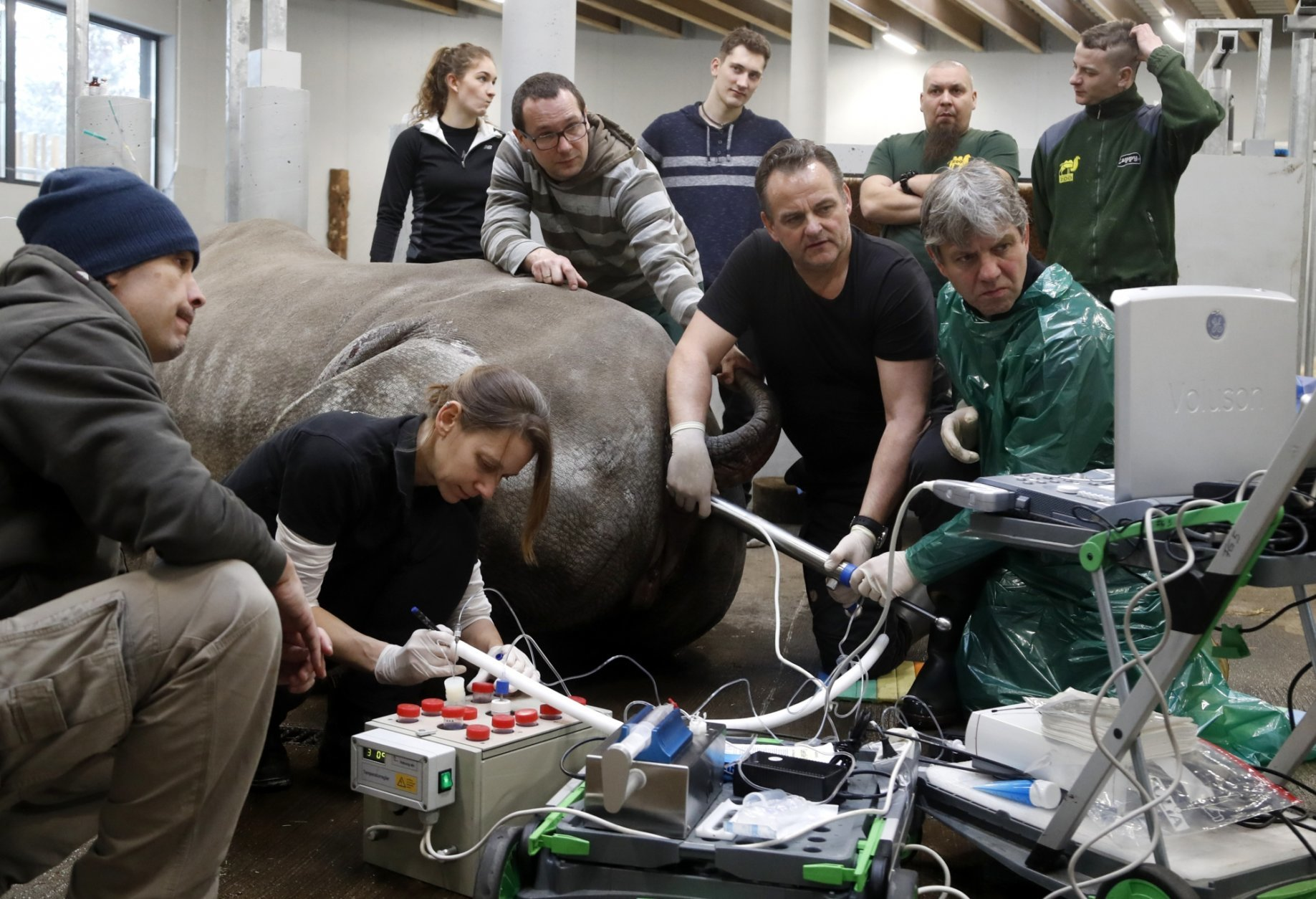 Team of experts led by Thomas Hildebrandt, right down, of the Leibniz Institute for Zoo and Wildlife Research in Berlin, harvests eggs from female southern white rhino, 17-year-old Hope, at a zoo park in Chorzow, Poland, Wednesday, Feb. 13, 2019. (AP Photo/Petr David Josek)