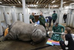 Team of experts led by Thomas Hildebrandt, 2nd right, of the Leibniz Institute for Zoo and Wildlife Research in Berlin, harvests eggs from female southern white rhino, 17-year-old Hope, at a zoo park in Chorzow, Poland, Wednesday, Feb. 13, 2019. (AP Photo/Petr David Josek)