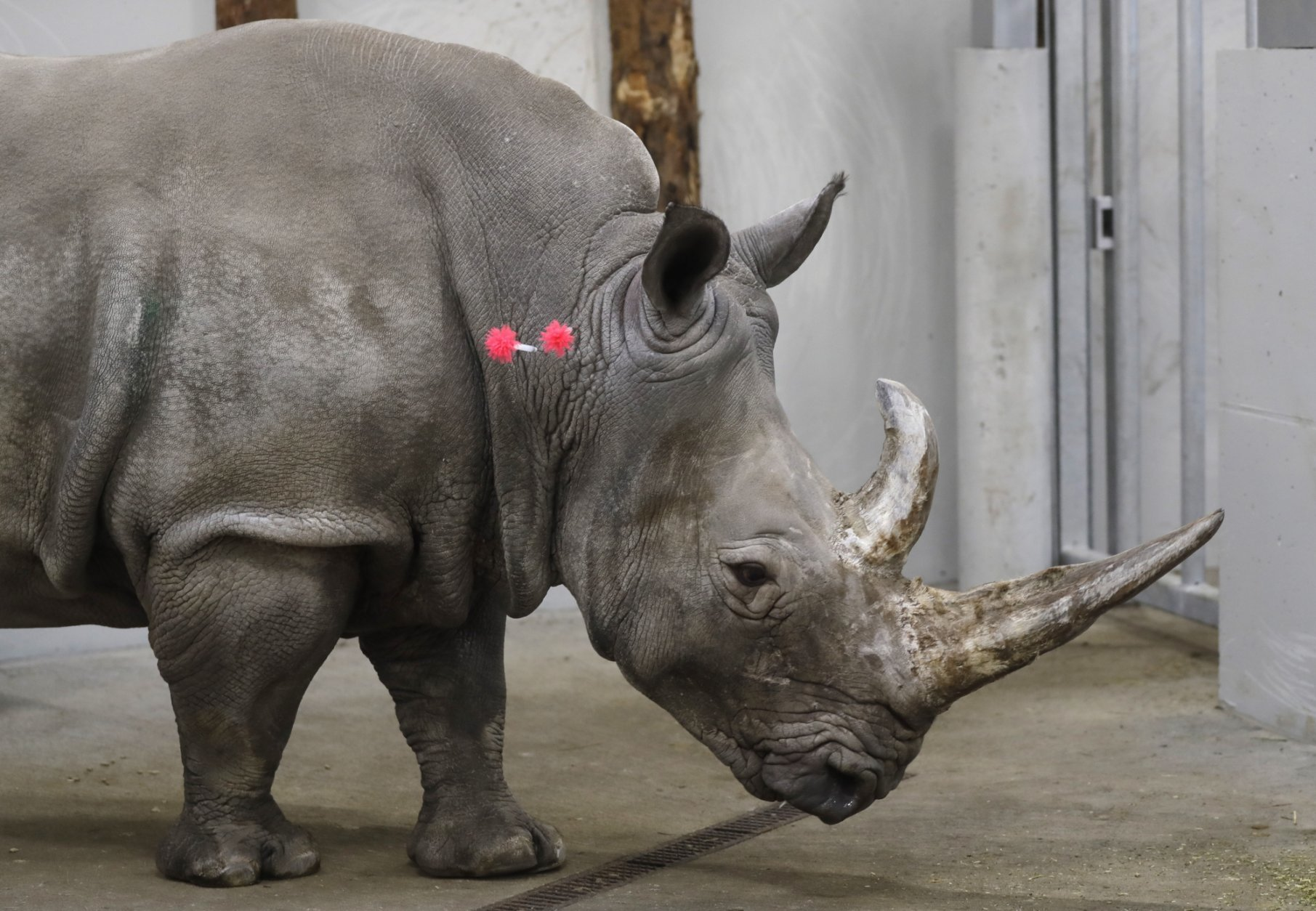 Female southern white rhino, 17-year-old Hope, is shot with tranquilizing darts, so a team of experts can harvest its eggs, at a zoo park in Chorzow, Poland, Wednesday, Feb. 13, 2019. (AP Photo/Petr David Josek)