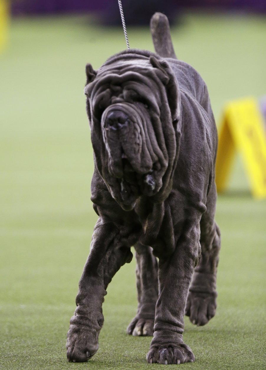 A Neapolitan mastiff competes with the working group at the 143rd Westminster Kennel Club Dog Show Tuesday, Feb. 12, 2019, in New York. (AP Photo/Frank Franklin II)