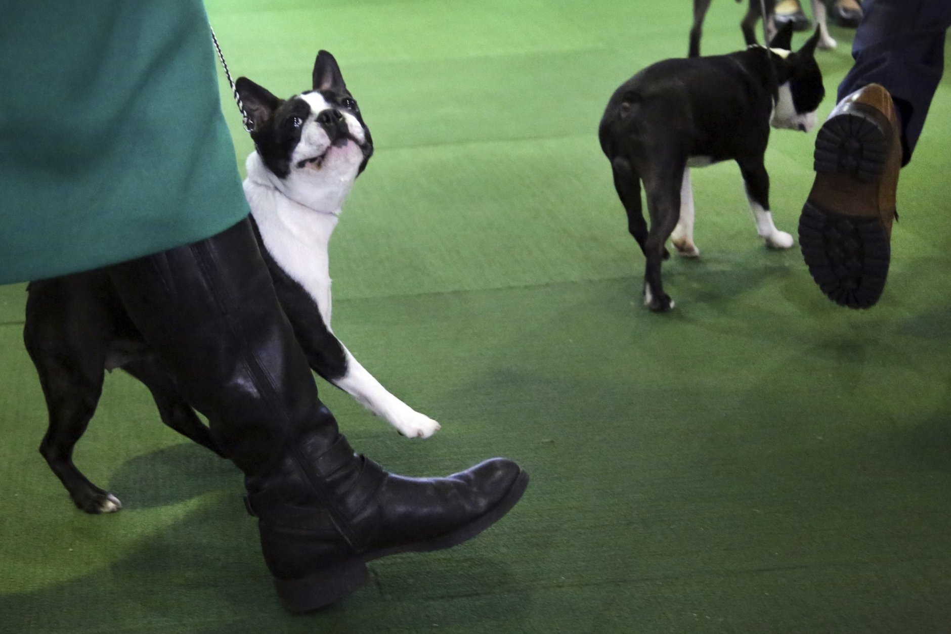 A Boston terrier looks at its handler during the Best in Breed event at the Westminster Kennel Club dog show on Monday, Feb. 11, 2019, in New York. (AP Photo/Wong Maye-E)