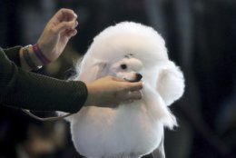 A toy poodle is groomed ahead of the Best of Breed event at the Westminster Kennel Club dog show on Monday, Feb. 11, 2019, in New York. (AP Photo/Wong Maye-E)
