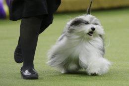 Bono, a Havanese, competes in Best in Show at the 143rd Westminster Kennel Club Dog Show on Tuesday, Feb. 12, 2019, in New York. King, a wire fox terrier, won Best in Show. Bono came in second among the more than 2,800 dogs who entered. (AP Photo/Frank Franklin II)