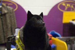 Colton the Schipperke sits backstage at Madison Square Garden during the Westminster Kennel Club Dog Show in New York, Tuesday, Feb. 12, 2019. A day after winning the nonsporting group and a place in the final ring of seven, Colton was ruled ineligible for best in show. (AP Photo/Nat Castaneda)