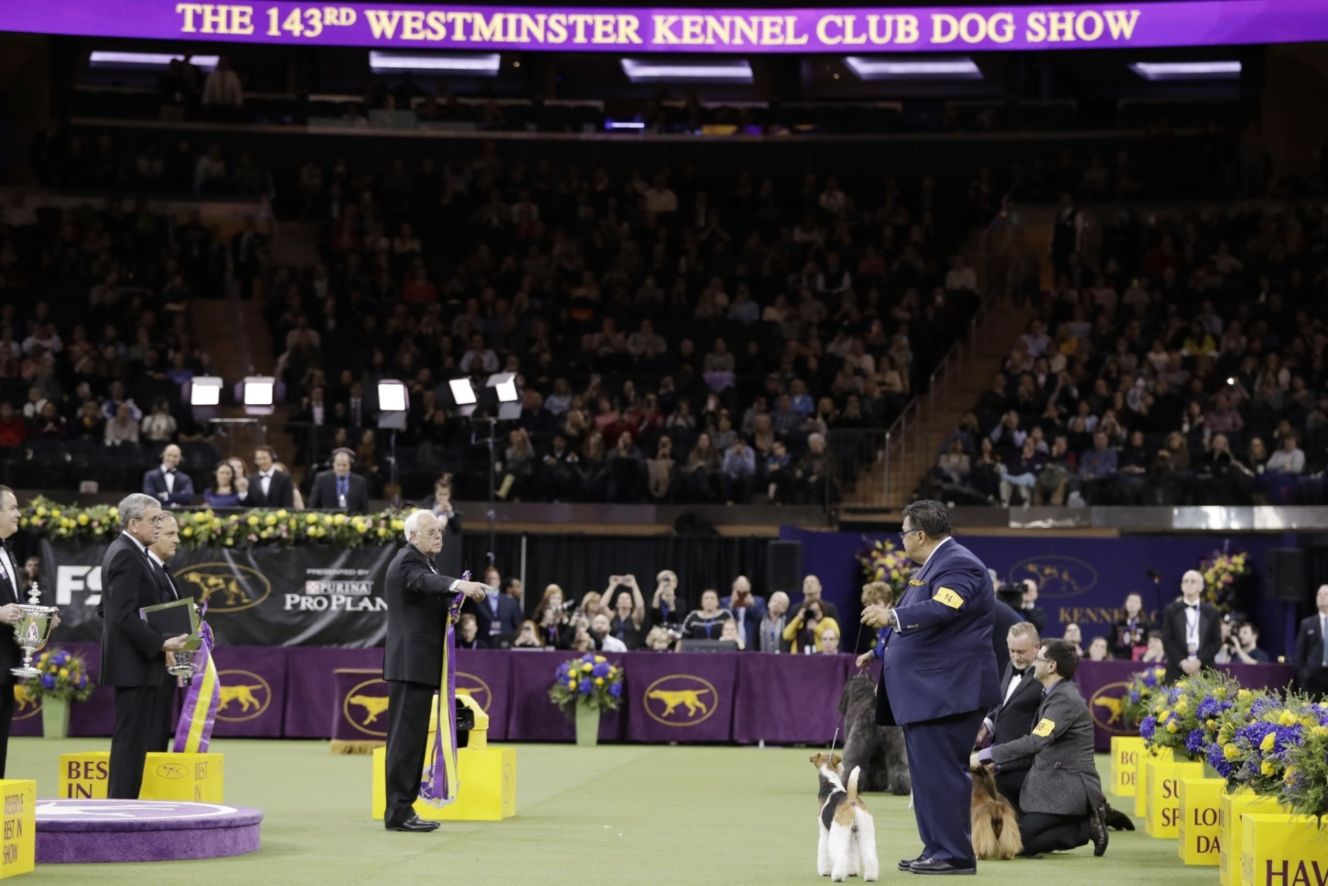 The judge points to King, a wire fox terrier, as Best in Show at the 143rd Westminster Kennel Club Dog Show Tuesday, Feb. 12, 2019, in New York. (AP Photo/Frank Franklin II)