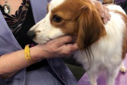 Primadonna, a grand champion Nederlandse kooikerhondje, sticks close to handler Deborah Bean at the Westminster Kennel Club dog show on Tuesday, Feb. 12, 2019, in New York. The Nederlandse kooikerhondje are one of two new breeds at Westminster this year, and also perhaps the most shy. Unlike the gregarious labs or curious terriers, the Nederlandse kooikerhondjes almost all stayed hidden away in their crates until it was their turn in the ring. (AP Photo/Jake Seiner)