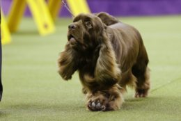 Bean, a Sussex spaniel, competes with the sporting group at the 143rd Westminster Kennel Club Dog Show on Tuesday, Feb. 12, 2019, in New York. Bean won the sporting group. (AP Photo/Frank Franklin II)