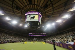 Colton,a schipperke, arrives for Best in Show at the 143rd Westminster Kennel Club Dog Show Tuesday, Feb. 12, 2019, in New York. King, a wire fox terrier, won Best in Show. A day after earning a coveted spot in the final ring of seven, Colton was ruled ineligible for best in show. There was a conflict of interest — judge Peter Green's longtime partner has co-owned dogs with one of Colton's co-owners. Colton was allowed to run around the ring, then was excused. (AP Photo/Frank Franklin II)