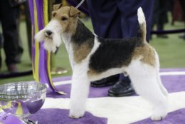 King, a wire fox terrier, poses for photographs after winning Best in Show at the 143rd Westminster Kennel Club Dog Show on Tuesday, Feb. 12, 2019, in New York.(AP Photo/Frank Franklin II)