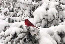 A cardinal waits among snowy tree branches. (Courtesy Kathleen Malone)