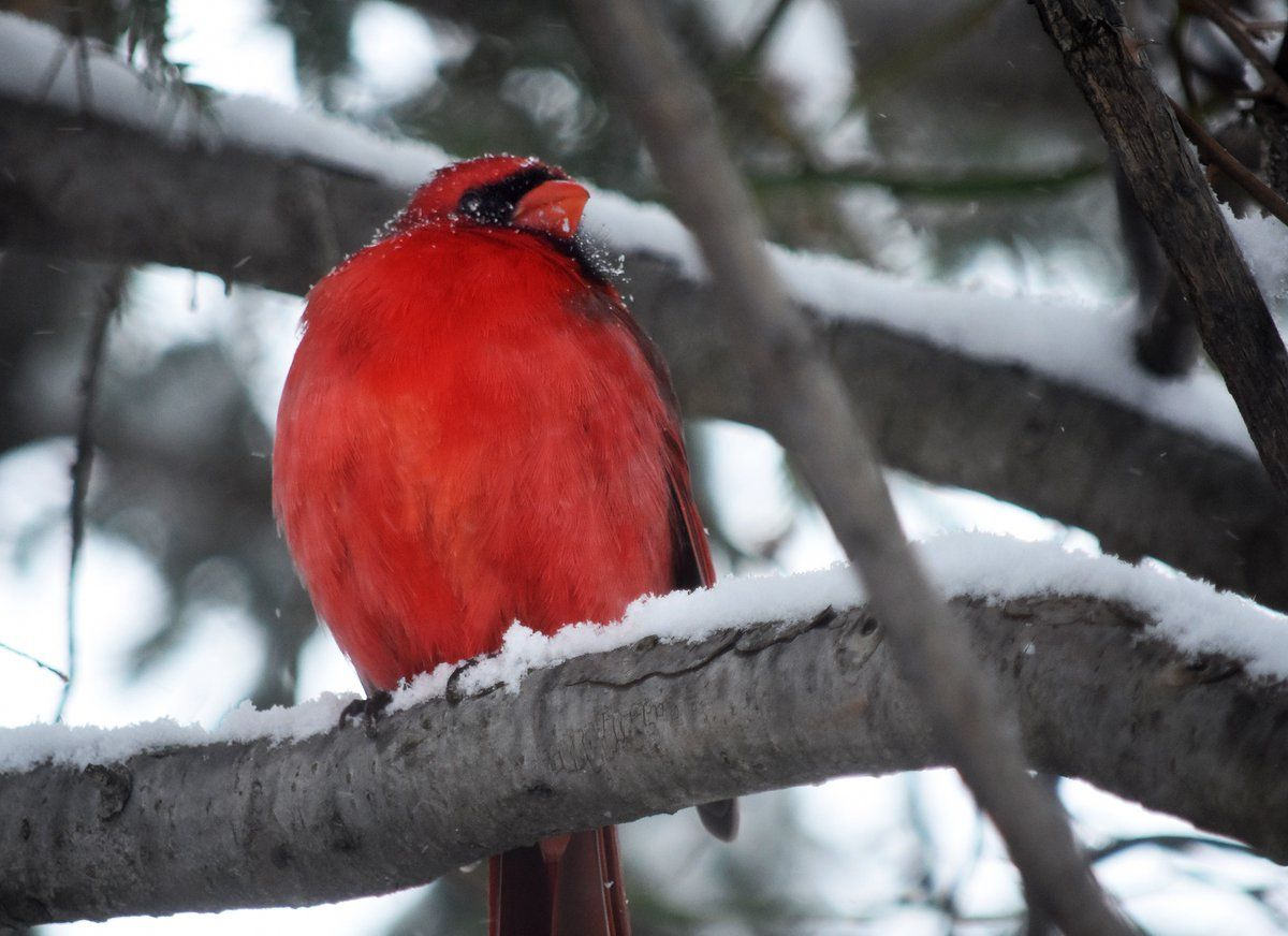 Northern cardinals take the snow and sleet in stride. (WTOP/Dave Dildine)