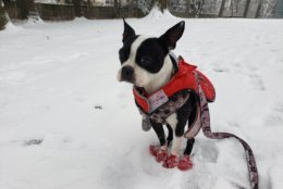 This Boston terrier does not appear to be enjoying Wednesday's weather in Vienna. (Courtesy @ReblandoPR via Twitter)