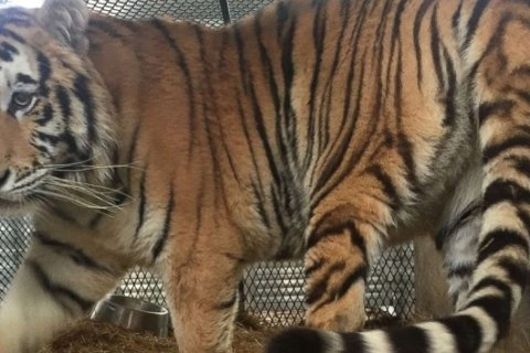 Caged tiger discovered in abandoned Houston home by marijuana smoker