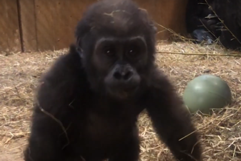 'Daredevil' baby gorilla on the mend after breaking leg at National Zoo