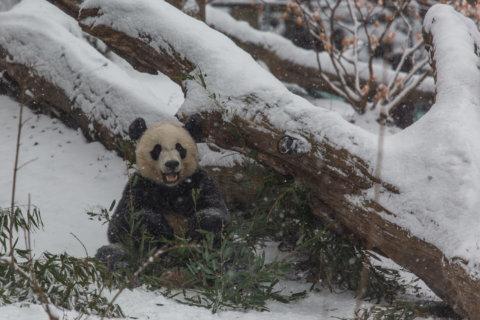 Panda Watch (Snow Edition): Watch Bei Bei and Mei Xiang enjoy a wintry frolic