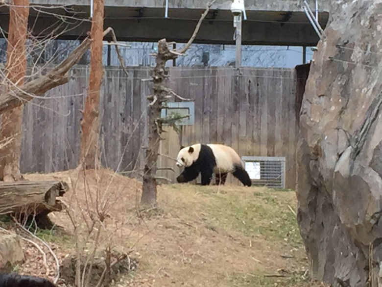 Fans of the giant panda should take a bow for the species