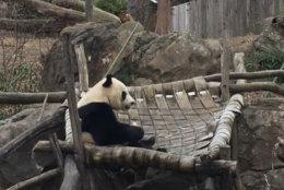 A giant panda at the National Zoo in Washington, D.C. (WTOP/John Domen)