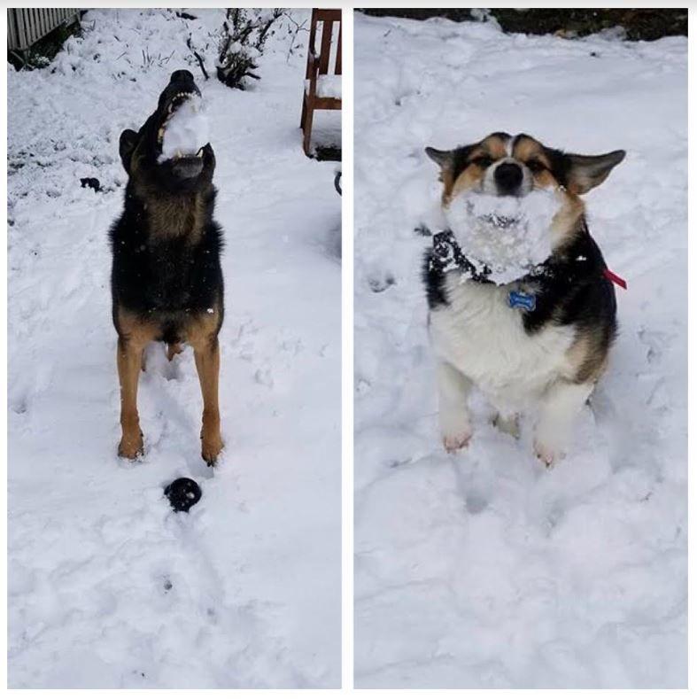 Takoma Park Police dogs play in the snow Wednesday. (Courtesy Takoma Park Police)