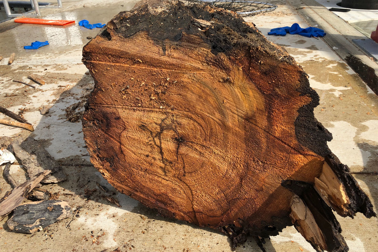 There's no telling how long this freshly cut hard wood log had been floating down the Potomac River toward the Southwest Watefront. (WTOP/Kristi King)