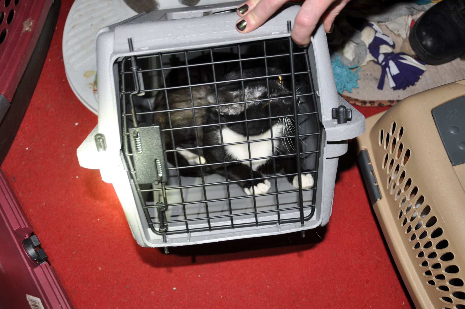 Authorities said they found more than 40 cats inside the woman's one-bedroom in Northeast D.C. apartment, including several who were flea-ridden, underweight and suffering from skin infections and open wounds. (Courtesy Human Rescue Alliance)