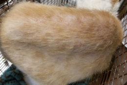 Several of the cats have been adopted and are doing better. This photos show a skin condition on cat named Daffodil. (Courtesy Humane Rescue Alliance)