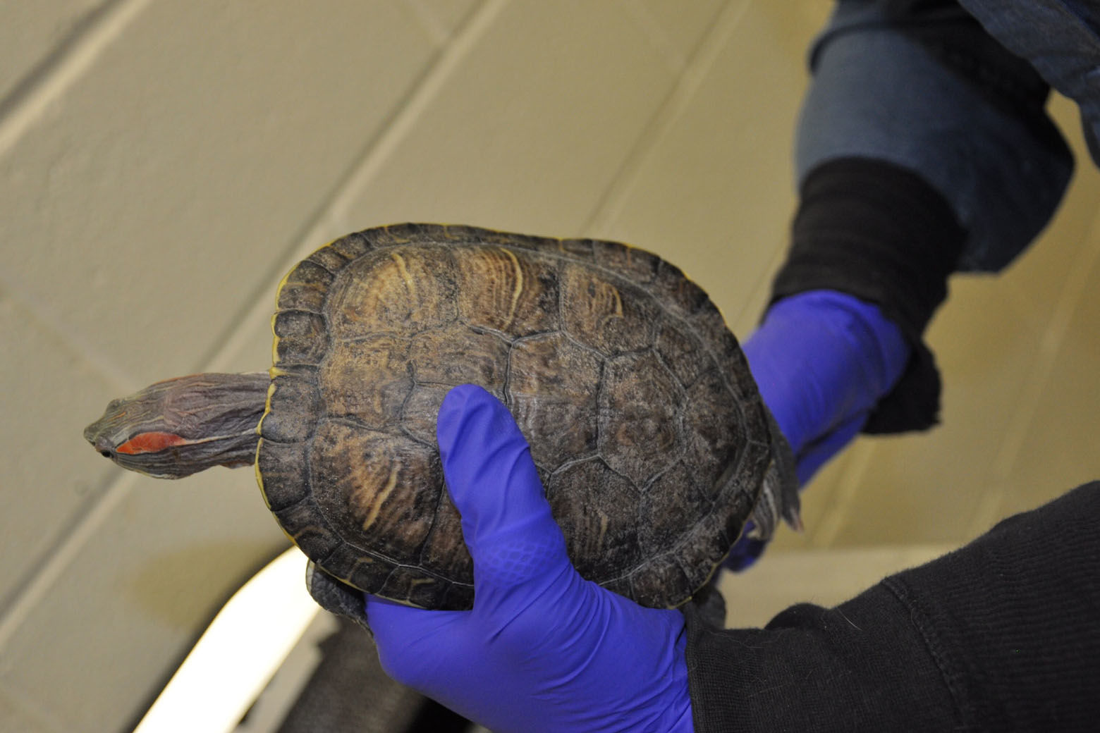The turtles were confined in a tank with dirty water and appeared to have ammonia scalding on their skin and shells. (Courtesy Humane Rescue Alliance)