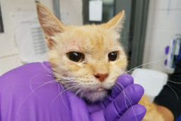 Several of the cats have been adopted and are doing better. This photos show a cat named Sunflower during intake. (Courtesy Humane Rescue Alliance)