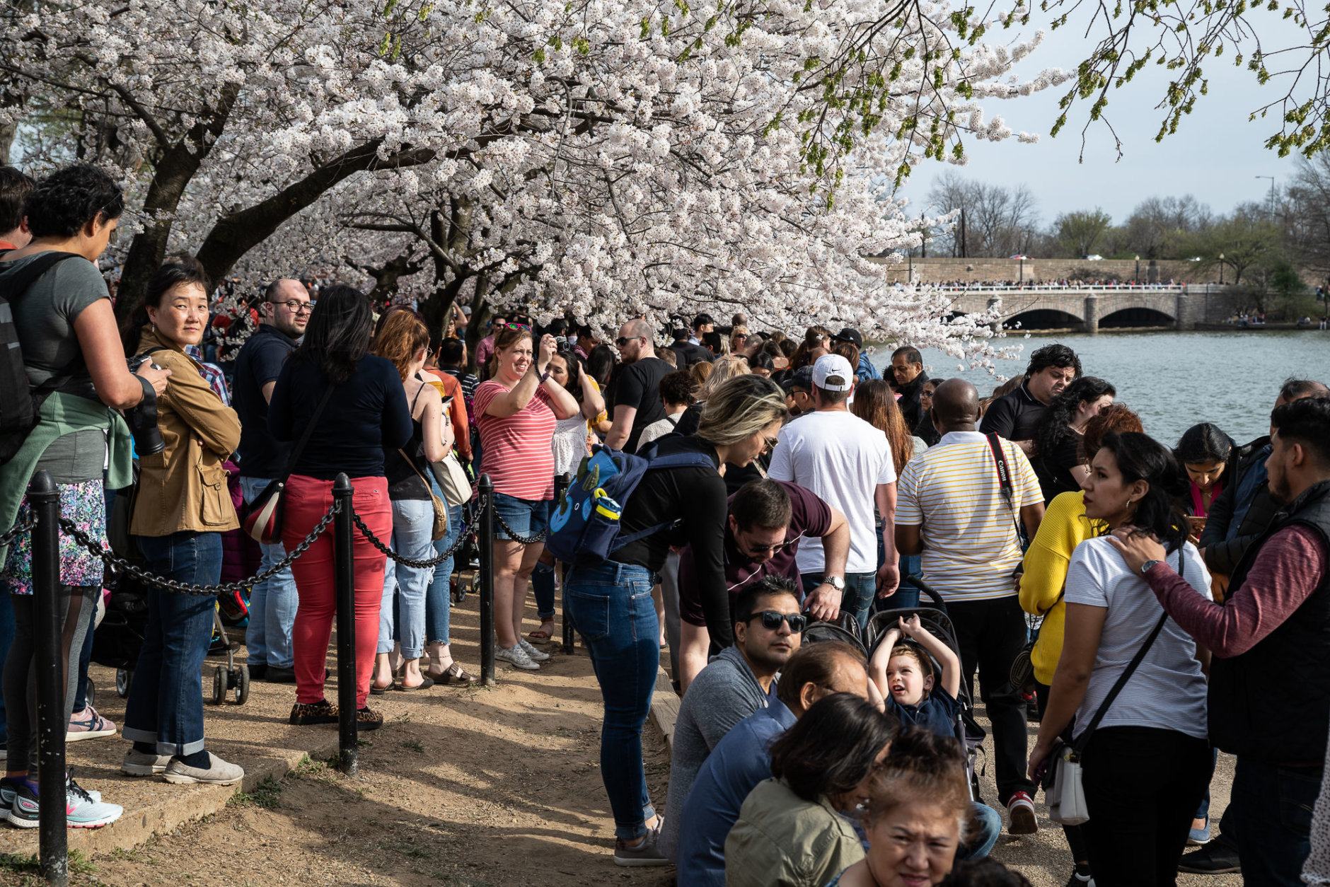 Tourists compete for a glimpse of the cherry blossoms along the Tidal Basin on March 30. On what may turn out to be the busiest day for blossom tourism, parts of the shore walk along Maine Avenue, SW were effectively standing room only. (WTOP/Alejandro Alvarez)