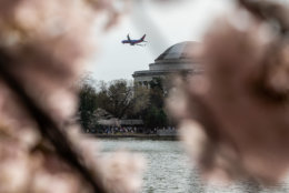 A Southwest Airlines flight passes along the Potomac River on the descent to nearby Reagan National Airport on March 30. Though the approach to D.C.'s Reagan Airport is spectacular any time of year, cherry blossom season can make for some particularly dramatic views on approach. (WTOP/Alejandro Alvarez)