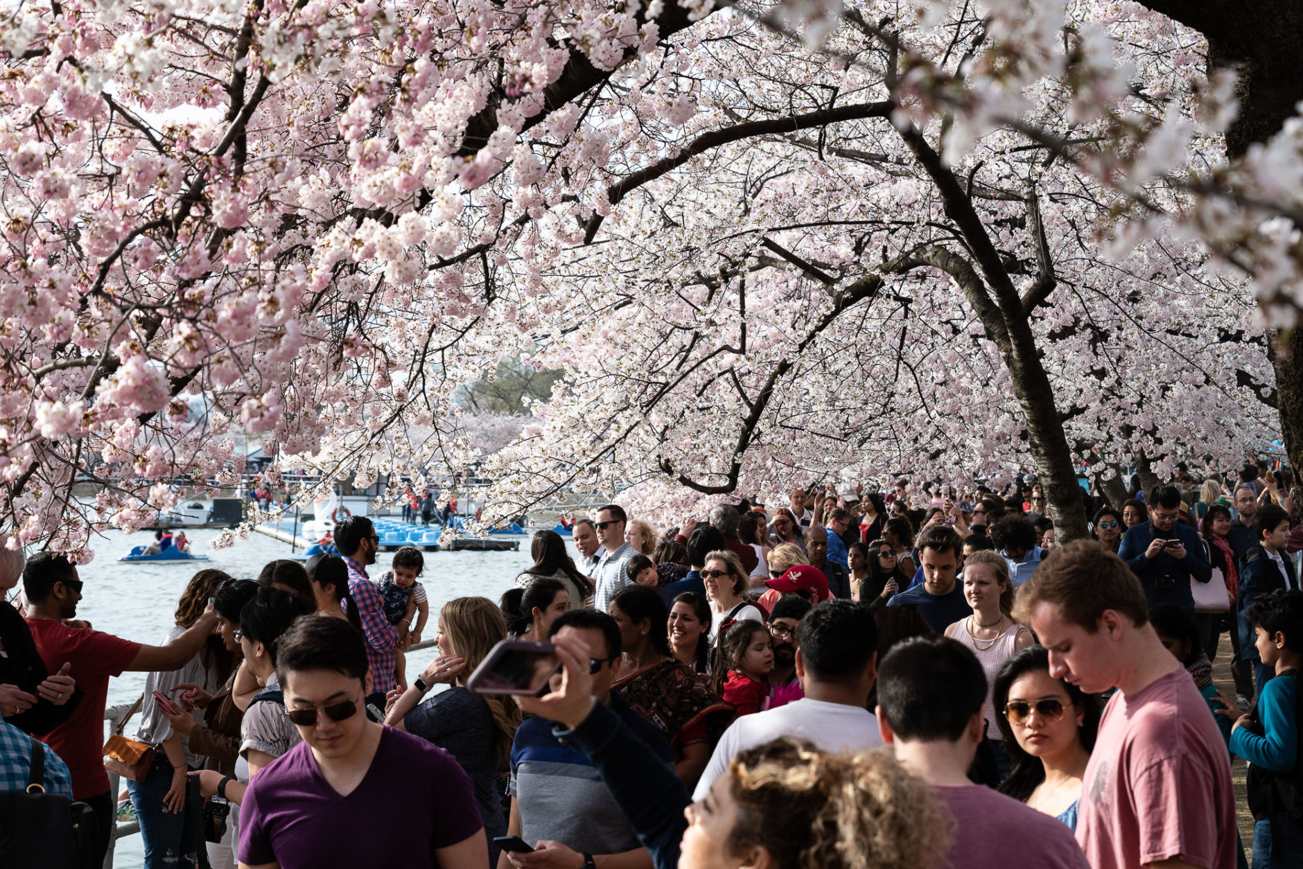 A large group of people take in the blossoms on the TIdal Basin shoreline runnig parallel to Maine Avenue, SW on March 30. (WTOP/Alejandro Alvarez)