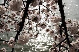 Cherry blossoms are seen over the sun's reflection March 30 on the Tidal Basin. (WTOP/Alejandro Alvarez)