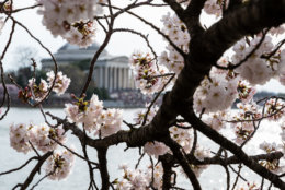 A cherry blossom branch in bloom is seen in front of the Jefferson Memorial on March 30. Though typically one of D.C.'s more popular monuments, the Jefferson Memorial was especially packed Sunday evening — in this photo, crowds are visible on the memorial's north-facing front. (WTOP/Alejandro Alvarez)