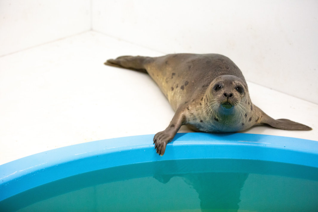 2 rescued harp seals get help from National Aquarium in Baltimore