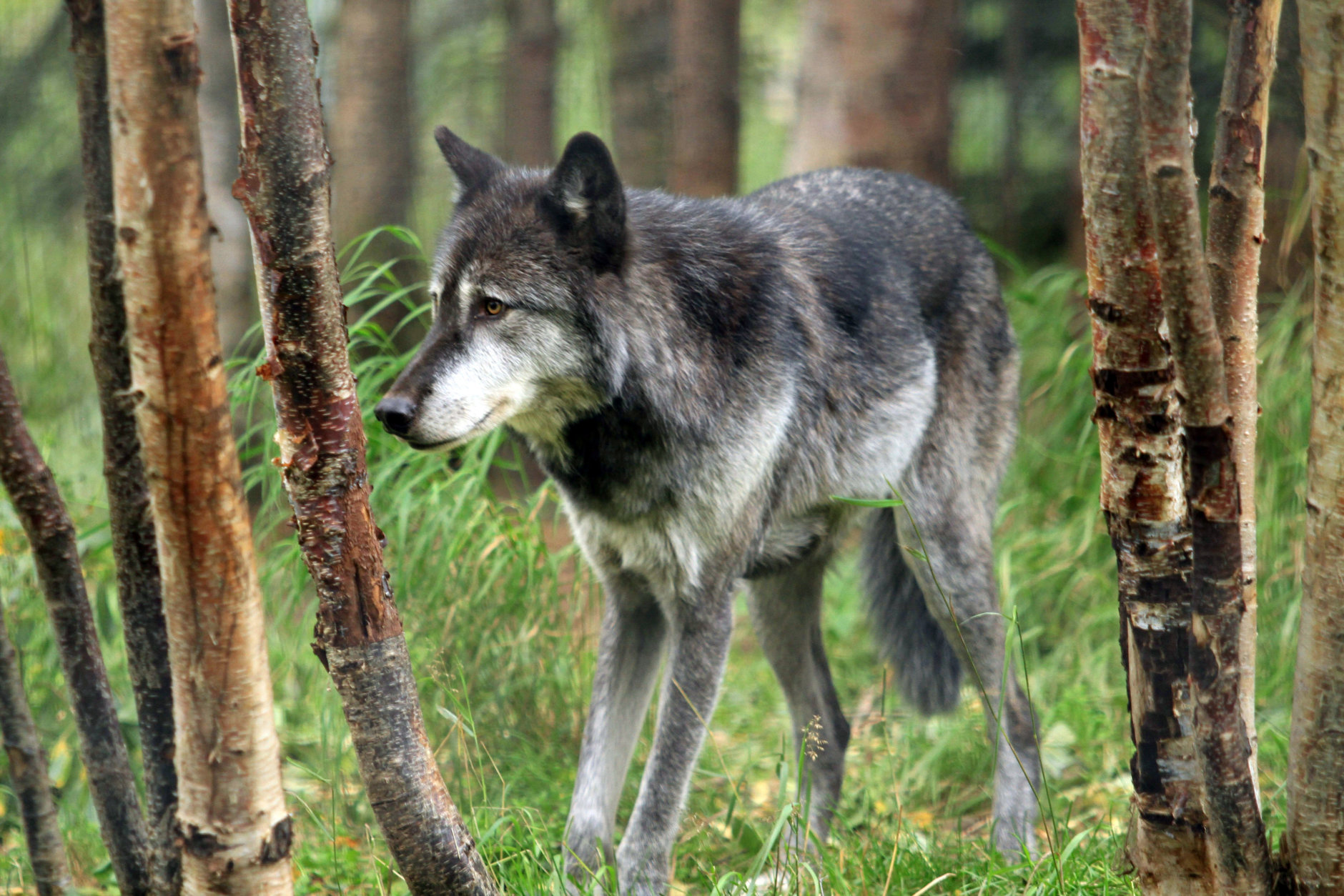 """Denali, a male gray wolf, walks between trees at the Alaska Zoo on Wednesday, Sept. 5, 2012, in Anchorage, Alaska. The 6-year-old wolf  is one of two candidates for zoo """"president"""" in a fundraiser that matches the timing of the U.S. presidential race. He's running against Ahpun, a polar bear, and ballots are $1. (AP Photo/Dan Joling)"""