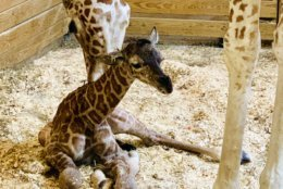 This photo provided by Animal Adventure Park shows April the Giraffe with her new  male calf on Saturday, March 16, 2019 in Harpursville, N.Y.  The Animal Adventure Park said April gave birth to a healthy male calf  Saturday. They say more than 300,000 watched live.  (Animal Adventure Park via AP)