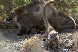 A baby Coati and its mother search for food as they are introduced to their new exhibit area at the Arizona-Sonora Desert Museum near Tucson, Ariz., Thursday, Aug. 29, 2002. The mother Coati had a litter of five on June 14 and will be seen by the public for the first time during the museum's 50th birthday celebration over the Labor Day weekend. (AP Photo/Jon Hayt)