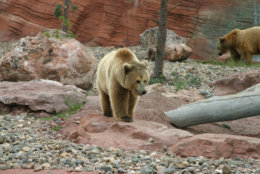 Great grizzly bear walking with mama bear